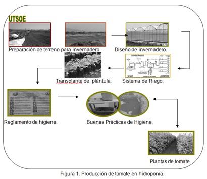 Figura 1. Producción de tomate en hidroponía.